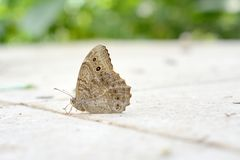 Brown butterfly Stock Images