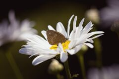 Brown Butterfly on Daisy Stock Image