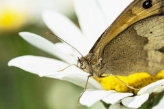 Brown butterfly in daisy flower Stock Image