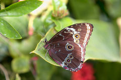Brown Butterfly with dots on green leaf. Brown butterfly with black spots butterfly sleep on a green leaf Stock Image
