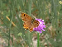 Brown butterfly on drinking nectar from field scabious stock image
