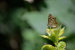 Brown butterfly with eye spots - Cercyonis pegala. In the woods of Belgium Stock Image