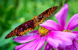 Brown Butterfly feeding on Fuchsia Flower Stock Image