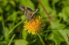 Brown butterfly stands on dandelion. Brown butterfly flies from dandelion to dandelion and eats sweet nectar Stock Photos