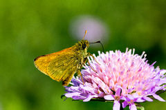 Brown butterfly on flower. Brown butterfly on flower with beautiful background Royalty Free Stock Images