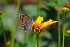 Brown butterfly on flower