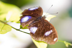 Brown Butterfly. Royalty Free Stock Images