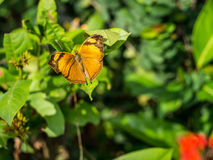 Brown butterfly with great wings on the leaf. Royalty Free Stock Photo
