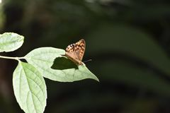 Brown butterfly on green leaf black dots royalty free stock photography