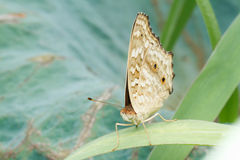Brown Butterfly on green leaf. Close up Royalty Free Stock Photos