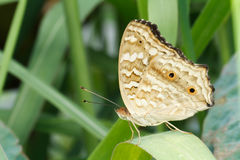 Brown Butterfly on green leaf Stock Photo