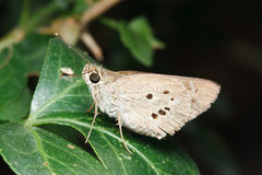 Brown Butterfly on green leaf Royalty Free Stock Images