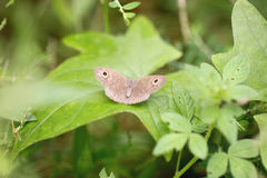 Brown butterfly on green leaves. Stock Images