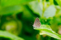 Brown butterfly on green leaves and green background Royalty Free Stock Photos
