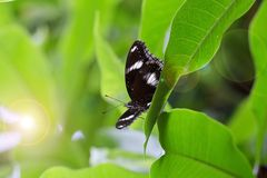 A brown butterfly on a green plant leaf. Closeup A brown butterfly on a green plant leaf nature background Royalty Free Stock Images