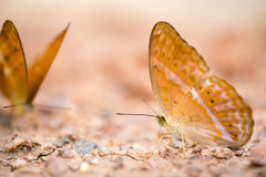 Brown butterfly on the ground, macro close up, with depth of field, focus at the eye, with copy space Stock Images