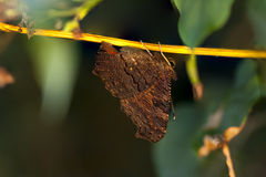 Brown butterfly hangs on a branch Royalty Free Stock Photos