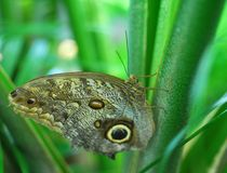 Brown Butterfly insect Royalty Free Stock Images