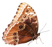 Brown butterfly isolated on the white background Royalty Free Stock Image