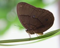 Brown Butterfly Laying Eggs Stock Photos
