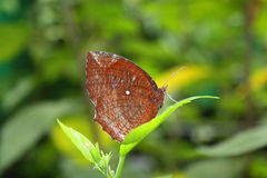 Brown butterfly on a leaf Royalty Free Stock Photography