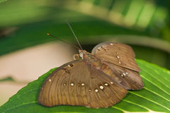 A brown  butterfly on a leaf Royalty Free Stock Images
