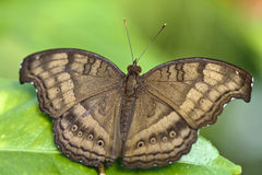 Brown butterfly Stock Image