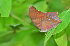 Brown Butterfly on leaf Royalty Free Stock Photo