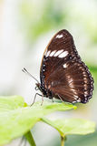 Brown butterfly. On a leaf Royalty Free Stock Photos