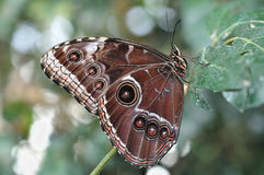 Brown butterfly on a leaf. Big butterfly on a leaf in Liguria - Italy Stock Photos