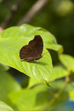 Brown Butterfly. On a leaf (Chocolate Pansy Royalty Free Stock Image