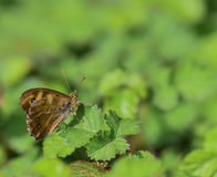 Brown butterfly on leaf Royalty Free Stock Images