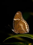 Brown butterfly on leaf plants Stock Image