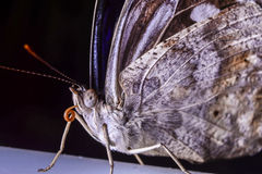 Brown butterfly. Macro of the face of a brown butterfly Royalty Free Stock Image