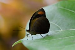 Brown butterfly. Macro picture of Brown Butterfly on green leaf Royalty Free Stock Photos