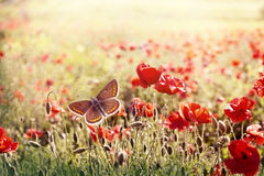 Brown butterfly in meadow of poppy flowers Royalty Free Stock Photos