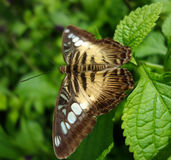 Brown butterfly or moth on green leaves and soft background Royalty Free Stock Photography