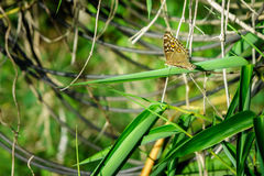 A brown butterfly in nature forest Royalty Free Stock Image