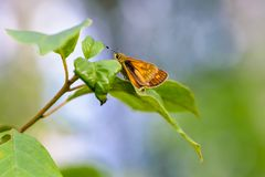 Brown butterfly ochlodes sylvanus stock image