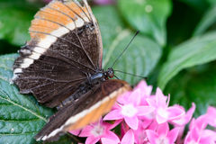Brown Butterfly with orange tips Royalty Free Stock Photos