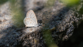 Brown Butterfly Perched Royalty Free Stock Image
