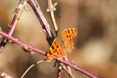 Brown butterfly. Photographed in winter Stock Photo