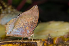 A brown  butterfly on a piece of banana Stock Photography