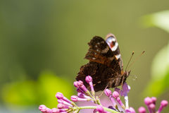 Brown butterfly on pink flower. Close-up of a brown butterfly on a bush with pink flowers Stock Image