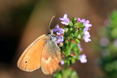 Brown Butterfly on the pink Flower in the green Nature Stock Images