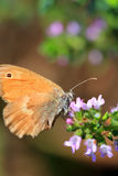 Brown Butterfly on the pink Flower in the green Nature Royalty Free Stock Photography
