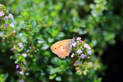 Brown Butterfly on the pink Flower in the green Nature Stock Photography