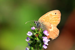 Brown Butterfly on the pink Flower in the green Nature Royalty Free Stock Images