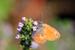 Brown Butterfly on the pink Flower in the green Nature Royalty Free Stock Photos