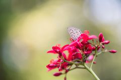 Brown Butterfly on pink Flower. Portrait of little Brown Butterfly on pink Flower Buds with bokeh and copy space for text. Macro Photography of wildlife royalty free stock image